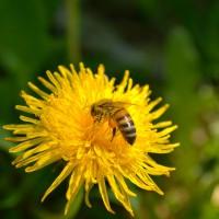 Одуванчик для пчелы…